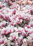 Magnolia pink flowers Stock Image