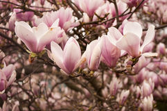 Magnolia pink flowers Stock Images