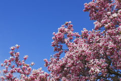 Magnolia pink flowers Royalty Free Stock Photos