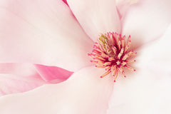 Magnolia, pink spring flower macro background Stock Photo