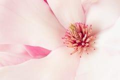 Magnolia, pink spring flower macro background Stock Photo