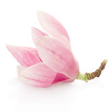 Magnolia, pink spring flower Royalty Free Stock Photography