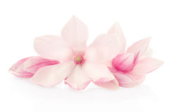 Magnolia, pink spring flowers and buds group. Isolated on white, clipping path included Royalty Free Stock Photo