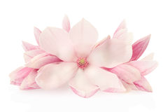 Magnolia, pink spring flowers and buds. Group on white, clipping path included Stock Photos
