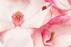 Magnolia, pink spring flowers macro Royalty Free Stock Photo