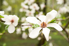 Magnolia plant blooms in spring on a sunny day Stock Image