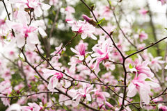 Magnolia plant blooms in spring on a sunny day Stock Images