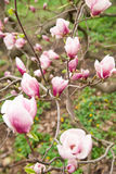 Magnolia plant blooms in spring on a sunny day Stock Photo