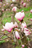 Magnolia plant blooms in spring on a sunny day Royalty Free Stock Photos