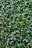 Magnolia plant leaves as background. Pattern of green magnolia plant in garden, shown as background and texture Royalty Free Stock Photo