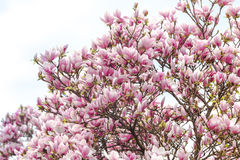 Magnolia plant with purple flowers on sunny spring day Royalty Free Stock Photography