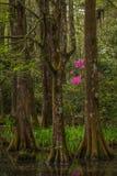 Magnolia Plantation Gardens 2 Stock Image