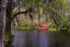Magnolia Plantation Gardens 2. Bald Cypress trees covered in Spanish Moss as viewed in the serene and lush swamp gardens of Magnolia Plantation in Charleston Stock Photos