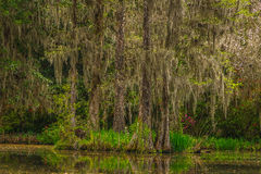 Magnolia Plantation Gardens. A serene setting at the lush gardens of Magnolia Plantation with spanish moss-covered bald cypress trees. This plantation is located Royalty Free Stock Photography