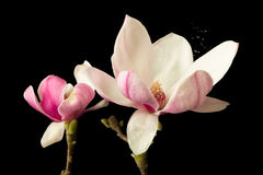 Magnolia pollen causing hay fever. Pollen spreading in the wind leaving a full blossom magnolia flower in springtime royalty free stock photos