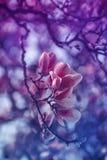Magnolia in purple royalty-vrije stock foto's