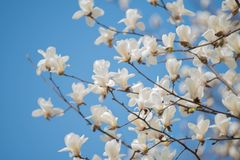 Magnolia que florece en el cielo claro imagen de archivo