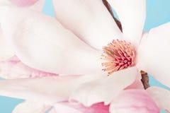 Magnolia, różowy wiosna kwiat makro- z niebieskim niebem Obrazy Stock