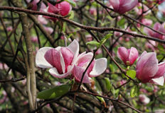 Magnolia after rain Royalty Free Stock Photography