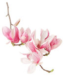 Magnolia, rama de la flor de la primavera y brotes rosados Fotos de archivo