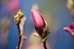 Free Magnolia Ricki, Large Light Pink Magnolia Bud Stock Image - 105826591