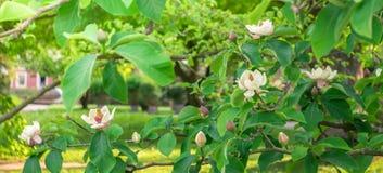 Magnolia romig witte bloesems op een groene boom in de zomerzonneschijn, groot-gebloeide Zuidelijke Magnolia stock afbeelding