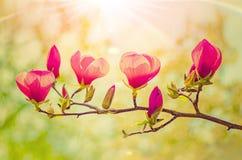 Magnolia rosa Immagini Stock