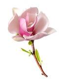 Magnolia rosa fotografie stock libere da diritti