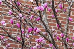 Magnolia rosa Immagini Stock Libere da Diritti