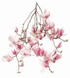 Magnolia rosa färgblommafilial Royaltyfria Bilder