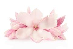 Magnolia, rosa färgvårblommor och knoppar Arkivfoton