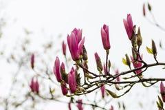 Magnolia rosa nella via Immagine Stock