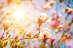 Magnolia rosada Fotografía de archivo libre de regalías