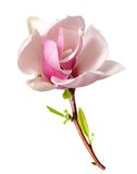 Magnolia rosada Fotos de archivo libres de regalías