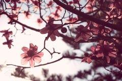 Magnolia rosada fotos de archivo