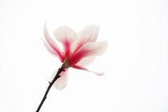 Magnolia rosada aislada foto de archivo