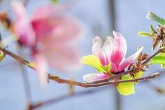 Magnolia rosada en naturaleza fotografía de archivo