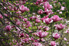Magnolia - rose Images libres de droits