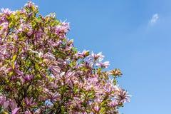 Magnolia rose image libre de droits