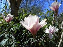 Magnolia rose-clair Photos stock
