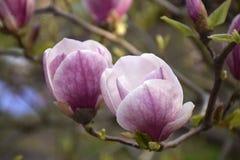 Magnolia rose en fleur Image libre de droits