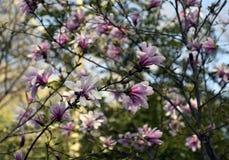 Magnolia rose en fleur Photographie stock