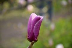Magnolia rose en fleur Bourgeons fermés de magnolia Photos stock