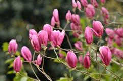 Magnolia rouge de floraison Image stock