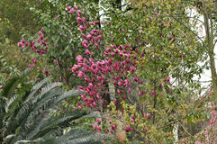Magnolia rouge de floraison Photos libres de droits