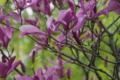 Magnolia roxo Imagens de Stock Royalty Free