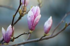 magnolia roze bloemen bij de lente royalty-vrije stock foto's