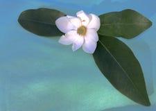 Magnolia salvaje Fotografía de archivo libre de regalías