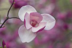 Magnolia sbocciante in una fine del giardino su Immagine Stock