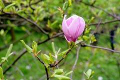 Magnolia single flower Royalty Free Stock Photo